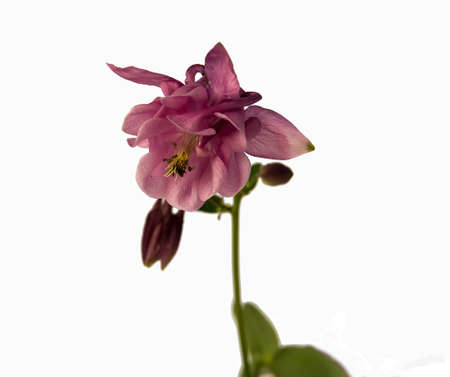 aquilegia: Beautiful pink flowers Aquilegia with thin stems on an isolated white background,