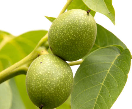 hazel branches: Green walnut yaoung fruits ripening on the tree with leaves, natural agricultural background Stock Photo