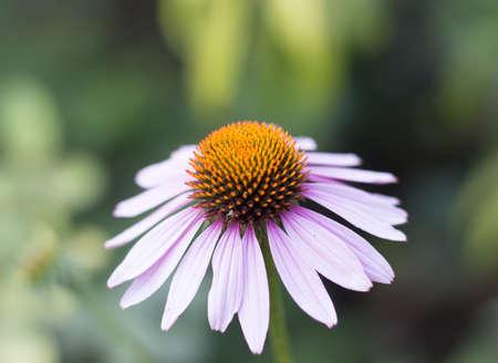 herba: Echinacea petal, herba on a white background