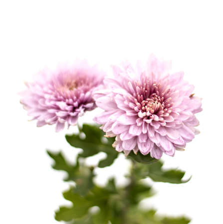 White asters flowers on a background of green garden pink asters stock photo white asters flowers on a background of green garden pink asters flowers on a background of green garden mightylinksfo