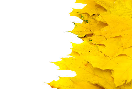 wizen: Autumn yellow maple leaf isolated on white background
