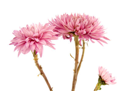Pink chrysanthemum flower on a long stem on a white background is insulated