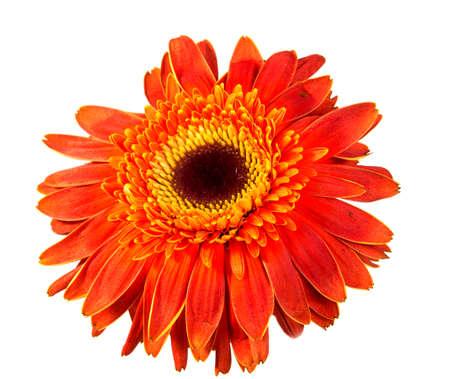 Single Orange Herbera isolated on white background