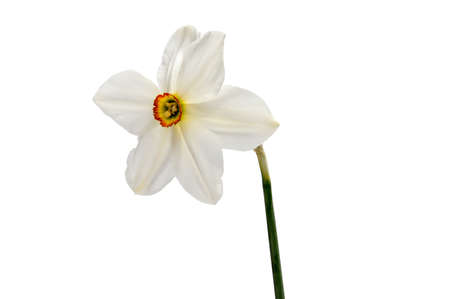 Flower of yellow Daffodil (narcissus) isolated on white background
