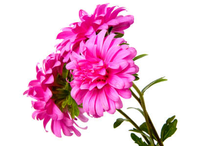 Colorful aster flowers isolated on white background Stock Photo