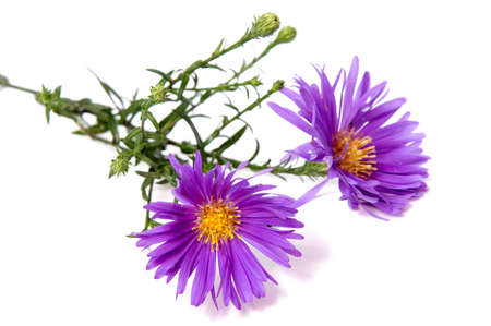 Colorful aster flowers isolated on white background.