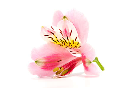 Alstroemeria flower head closeup isolated on white background