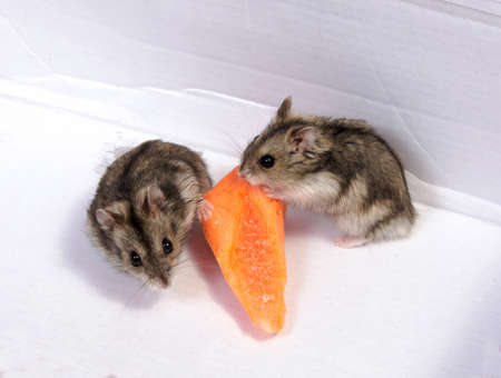 Djungarian hamster in sawdust on white background Standard-Bild