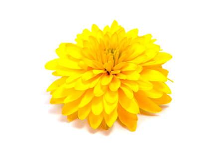 Chrysant bloem op een lange stam op een witte achtergrond is geïsoleerd