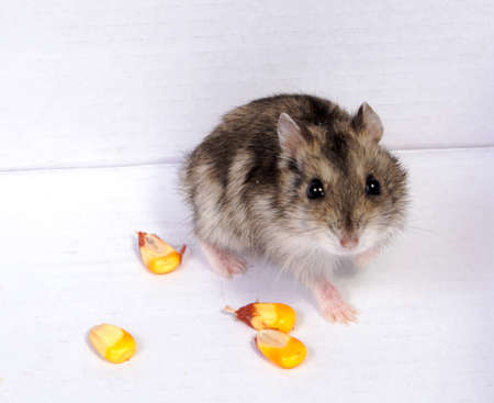 Djungarian hamster in sawdust on white background Stock Photo