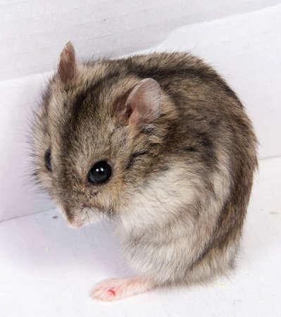 Djungarian hamster in zaagsel op witte achtergrond