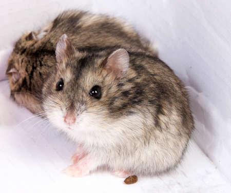 Djungarian hamster in sawdust on white background Stockfoto