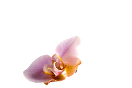 Elegant pink orchid (Phalaenopsis orchid flower), isolated on a black background