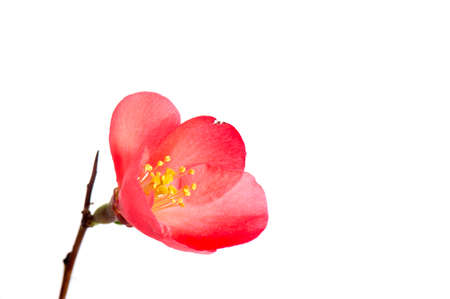 Cosmos flower isolated on white side view. Isolate of one pink white flower cosmos, bud open. Beautiful fresh natural flower simple Standard-Bild