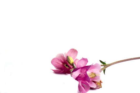 Flower of Aquilegia vulgaris isolated on white background, close up
