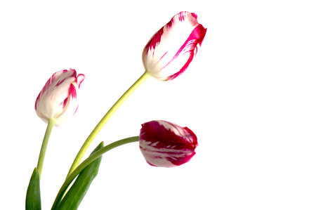 Spring flower tulip. Red tulips isolated on white background
