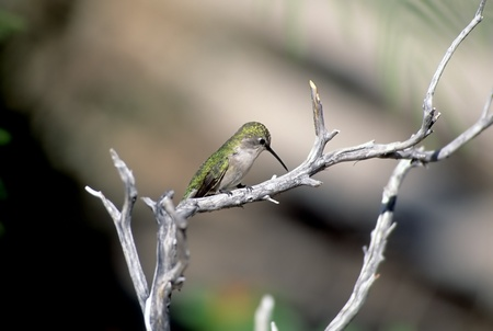 ruby throated: Ruby Throated Hummingbird On Branch At Rest