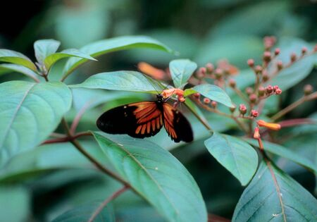 Postman Butteryfly Feeding On Flowers Stock Photo - 8371241