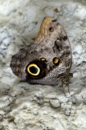 Owl Butterfly Perfect View Of Wing Spots