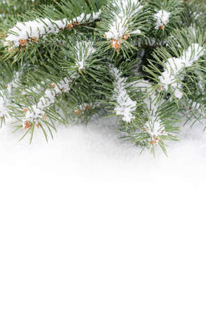 undecorated: branch of Christmas tree on a snow over white background, copy space