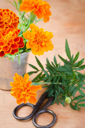 floristic: Floristic background with old vintage scissors and marigold flower on wooden background, selective focus, rustic style. Stock Photo