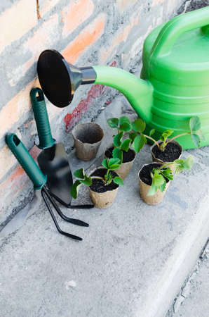 peat pot: Strawberry Plants and Seedlings With Gardening Tools. Concept Gardening and Agriculture. Selective Focus. Stock Photo
