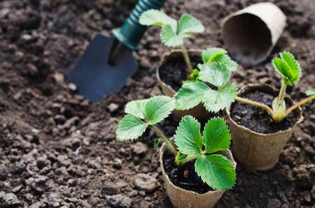 Aardbeiplanten en zaailingen met tuinhulpmiddelen op grond. Concept tuinieren en landbouw. Selectieve aandacht.