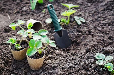 turba: Strawberry Plants and Seedlings With Gardening Tools on Soil.