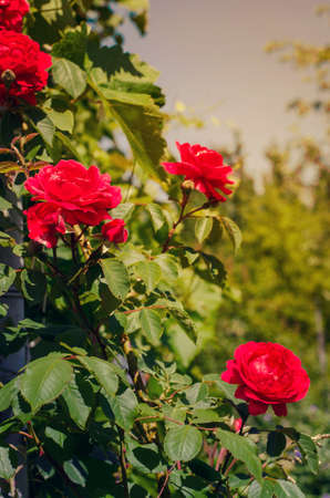 Beautiful red roses in the garden on a sunny summer day. Archivio Fotografico
