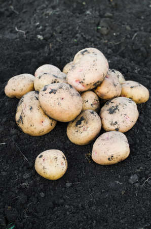 Harvest ecological potatoes freshly taken from the earth. The concept of harvest and gardening