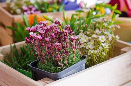 Maceteros para pequeño jardín, patio o terraza. Plántulas de primavera hermosas flores en una caja de madera.