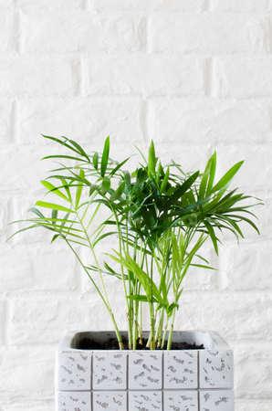 Beautiful potted plant Chamaedorea elegans near white brick wall.
