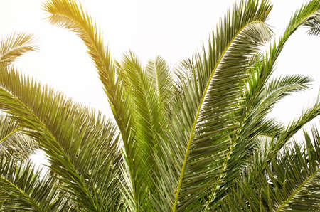 Sun over green palm leaves. Tropical Background.