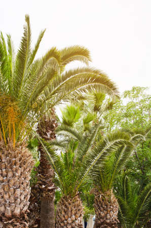Green growing palm trees. Tropical Background. Summer vacation concept.