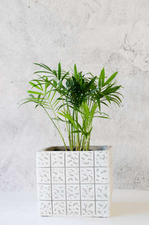 Beautiful potted plant Chamaedorea elegans near gray concrete wall.
