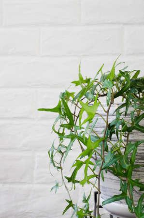 Beautiful potted plant ivy near white brick wall.