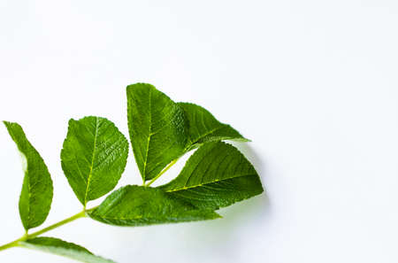 life extension: green fresh leaf on a white background isolated Stock Photo