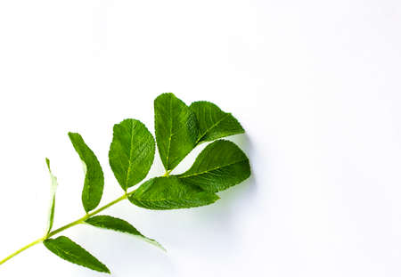 phytology: green fresh leaf on a white background isolated Stock Photo