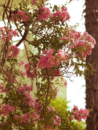 incarnadine: ink oleander Bush as the retro background lots of small flowers
