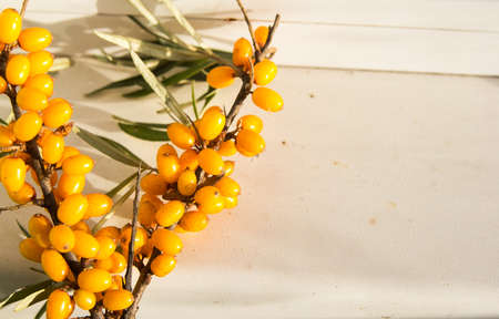 seabuckthorn: ripe sea-buckthorn berries with leaves-Sunny autumn day Stock Photo