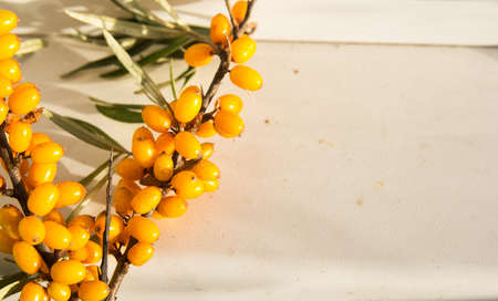 argousier: ripe sea-buckthorn berries with leaves-Sunny autumn day Banque d'images