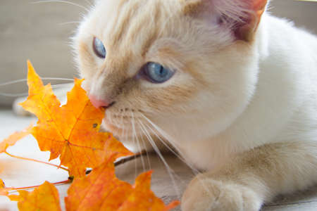 cat playing with autumn leaves is very funny
