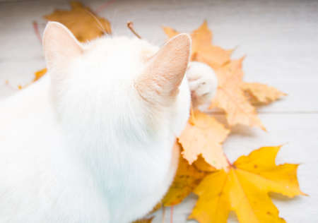 ch: cat playing with autumn leaves is very funny