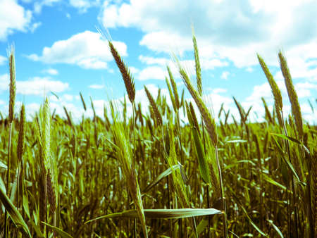 green wheat field and sunny day, the concept of agriculture, harvesting.