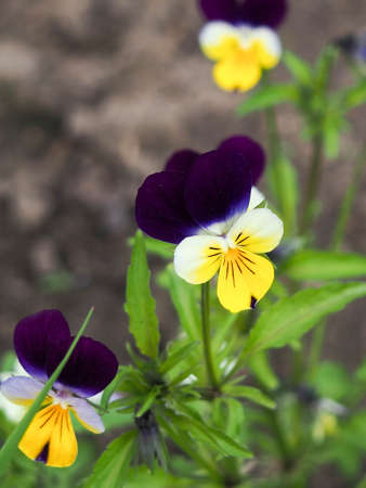 Viola cornuta, horned pansy, tufted pansy, Spring field, colorful flowers of violets