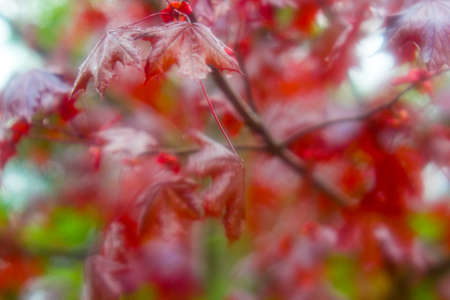 red maple in fog, blurred, red maple tree background.