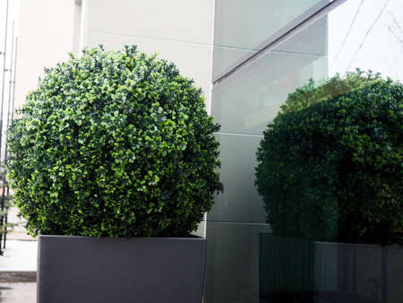 Big evergreen tree Buxus sempervirens common box, European box, or boxwood in pot near house. Stok Fotoğraf
