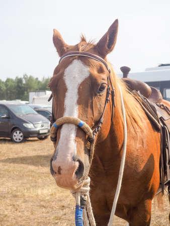 Brauner Pferdekopf mit Zügeln. Nahaufnahme des schönen Pferdegesichts. Im Freien im Bauernhof stehen und zur Kamera schauen.
