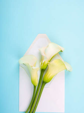 calla flowers Zantedeschia on blue background with envelope, copy space.