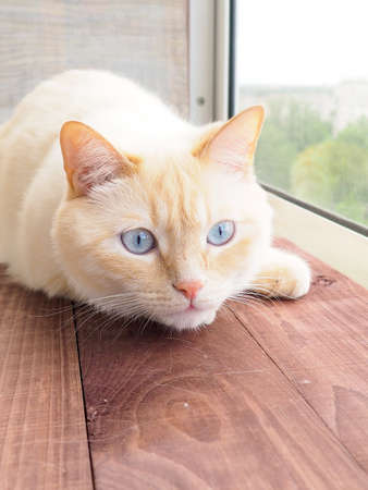 sweet young white cat with blue eyes plays, rests, stretches,